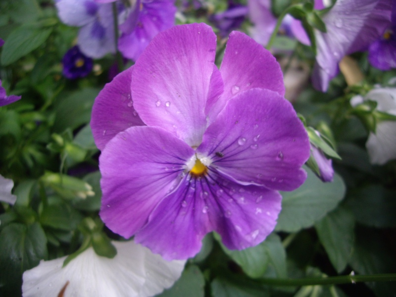 Pansy in my garden after rain