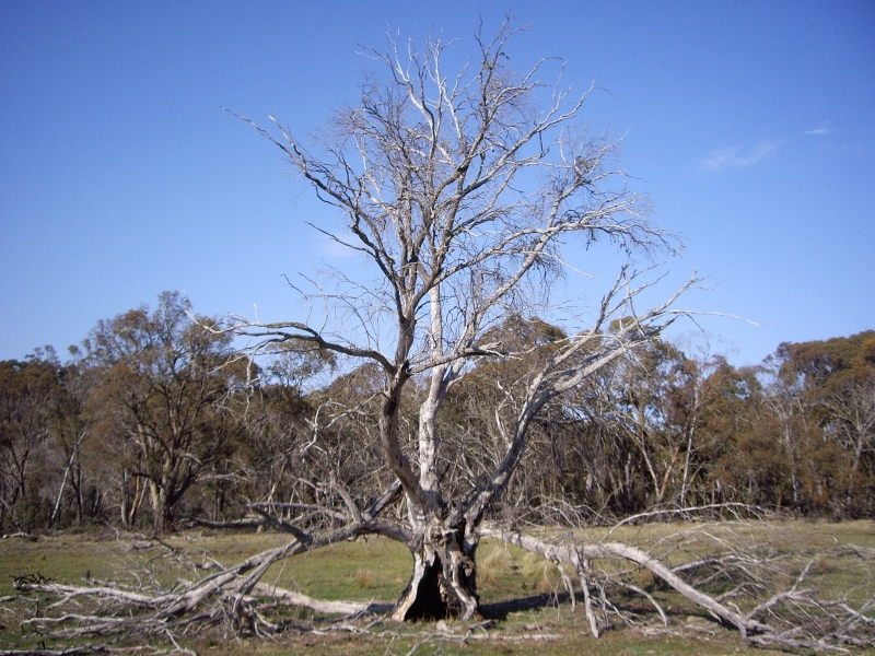 Dead tree 2007