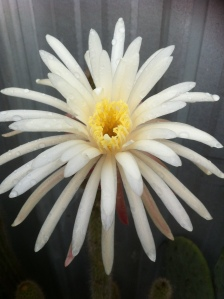 Cactus flower after overnight rain