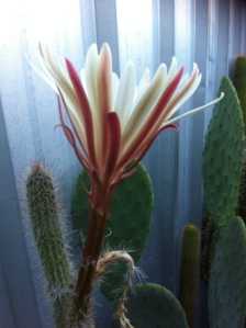 Cactus flower opening just before dark