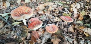 Red and white mushrooms